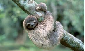 A slow-moving sloth, looking much happier and chiller than yours truly.